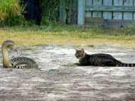 जहरीले सांप और बिल्ली के बीच जंग, क्या हुआ अंजाम?