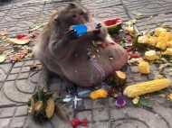 यह क्या, ज्यादा खाने से निकल आई बंदर की टमी, जानिए अब क्या होगा इनका?