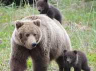 अलास्का के जंगल में एक भालू ने किया 3 हाइकर्स बच्चों पर हमला, यहां रहते हैं दुनिया के खतरनाक भालू