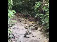 जब आपस में भिड़े किंग कोबरा और अजगर, देखिए खतरनाक वीडियो