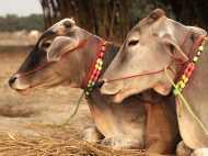 कर्नाटक में गायों की किडनी उड़ा ले गए चोर