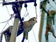 VIDEO: बिजली के खंभे पर लटककर तड़प-तड़प कर मर गया तेंदुआ