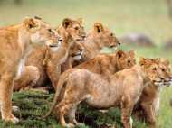 जब शेरों के झुंड के बीच दिया महिला ने बच्चे को जन्म