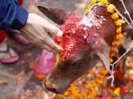 गाय की पूजा करने से मिलता है 33 कोटि देवताओं के पूजन का फल, जानिए धार्मिक-सांस्कृतिक महत्व