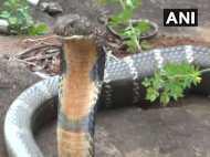गांव में मिला 17 फीट लंबा किंग कोबरा, पकड़कर जंगल में छोड़ा