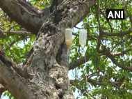 700 साल पुराने इस बरगद के पेड़ को स्लाइन से चढ़ाया जा रहा है पानी, जानिए क्यों