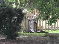 7 फीट के मगरमच्छ ने जब पकड़े जाने से बचने के लिए लगाई चारदीवारी पर छलांग