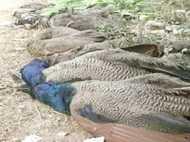 यूपी में एक ही जगह पर 8 मोरों की हुई मौत, सभी की वजह एक ही