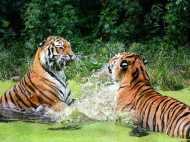 World Tigers Day: जानिए बाघों के बारे में कुछ रोचक बातें