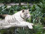 दिल्ली के चिड़ियाघर में शावकों को जन्म देगी सफेद बाघिन, 27 साल बाद पैदा होंगे मिक्स ब्रीड के बच्चे