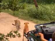 VIDEO: कुत्ते का शिकार करने आया तेंदुआ उसे देखते ही बना भीगी बिल्ली, ऐसे भागा डरकर