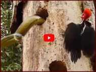 VIDEO: अपने बच्चों के लिए सांप से कैसे भिड़ गया कठफोड़वा