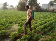 आलू की फसल के लिए वरदान है देसी शराब, किसानों ने गिनाए इसके फायदेमंद गुण