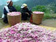 गुलाबों से महकी गरीब महिलाओं की जिंदगी, खड़ा किया लाखों का कारोबार