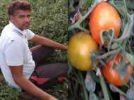 राजस्थान का यह किसान करता है ऑस्ट्रेलियाई टमाटर की खेती, कमाई हो रही छप्परफाड़