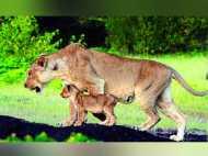 गुजरात के शेरों की दूसरे राज्यों में मांग बढ़ी, बदले में दूसरे जानवर देने को तैयार हैं दुनिया के कई देश