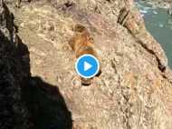 लोगों के पथराव की वजह से पहाड़ से फिसलकर नदी में गिरा भालू, VIDEO वायरल