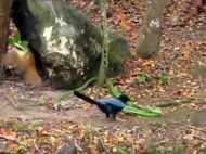 जंगल में जहरीले सांप से हुआ सामना तो भिड़ गई छोटी सी चिड़िया, देखिए Video