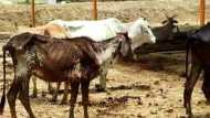 बाराबंकी: गांव वालों के आरोपों पर बोले DM, चारे-पानी की कमी से नहीं हुई गायों की मौत