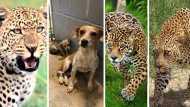 तीन तेंदुआ-एक नन्हा सा पिल्ला और ऐसे लिया कुत्ते की मौत का खौफनाक इंतकाम