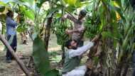 Banana Covid: कोरोना से जूझ रहा है देश, किसानों को परेशान करने आई एक और बीमारी