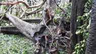 चक्रवाती 'अम्फान' में भारतीय वनस्पति उद्यान में धराशायी  हो गया 270 साल पुराना बरगद, वनस्पतियों को हुआ भारी नुकसान