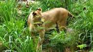 गुजरात में फिर एक बच्चे को शेरनी ने मारा, गांव से ही कुछ दूर जंगल में पड़ा मिला