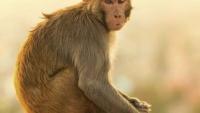 यूपी: मां की गोद से 12 दिन के बच्चे को छीनकर ले गया बंदर