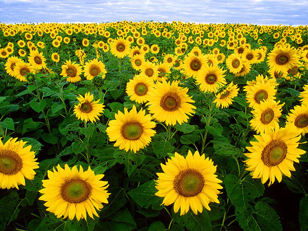astrological benefits sunflower aid0191