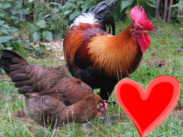 Man booked for shooting neighbour's rooster for flirting with his pet hen