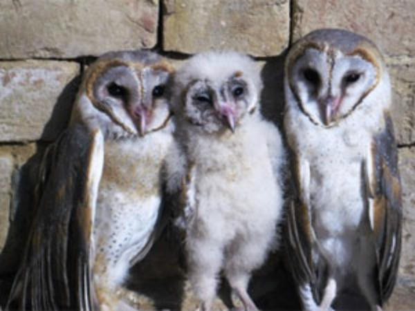 Diwali is a dark time for India's owls