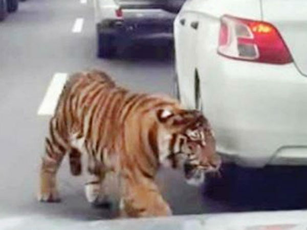 Video Shows Tiger Falling From Truck, Running On Busy Highway Doha,Qatar