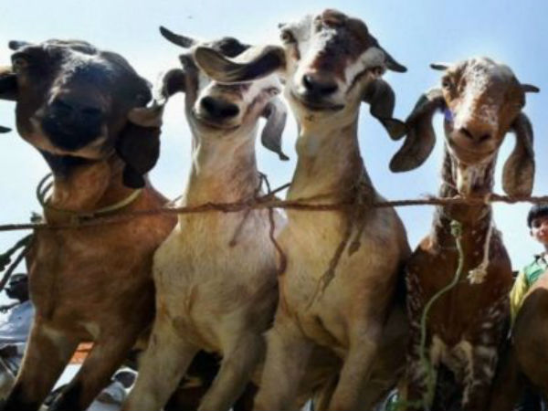 Bakr-eid today: RSS's Muslim unit plans to cut goat-shaped cake