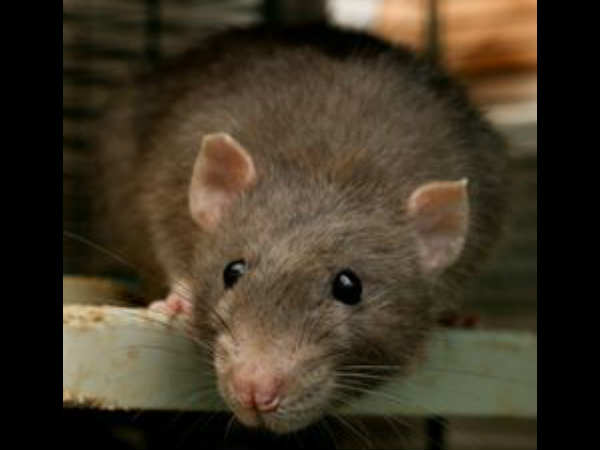 Rats damage 2 dead bodies in Haryana Civil Hospital