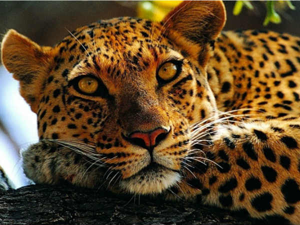 Leopard Mauls 4-Year-Old Girl To Death In Gujarat Village