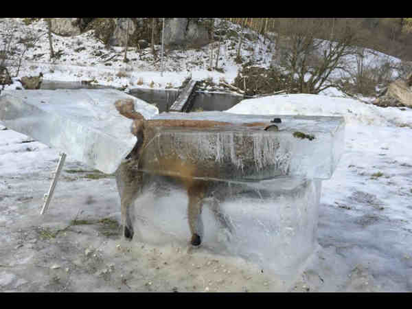 Germany's frozen fox extracted from upper reaches of Danube