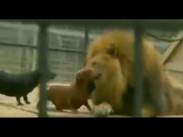 Video: what happen next when fearless dogs bravely playing around with lion