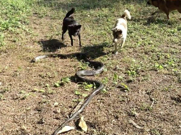 4 dogs protecting their owner go head-to-head with an 8ft cobra, watch video