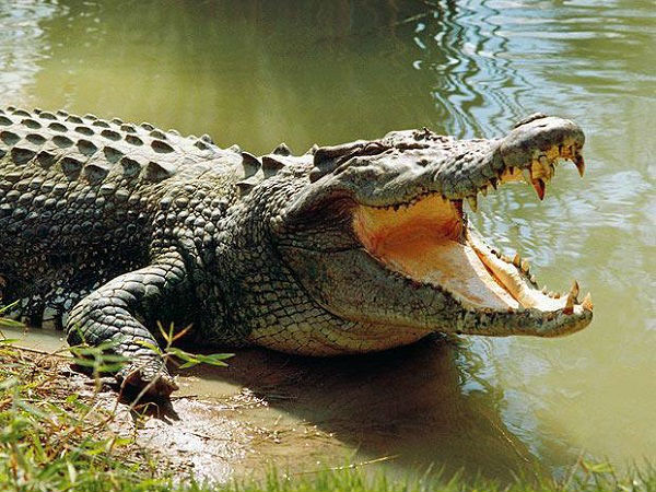 High on drug, Aussie man tries to have sex with crocodile, goes missing