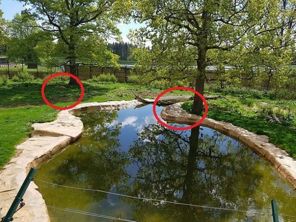 Can You find Out two 10 ft tiger hiding in plain sight in a safari park?