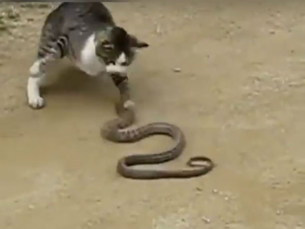 Video:Fight between cat and snake, you never seen before