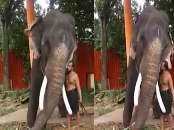 Elephant bends down for mahout to kiss him