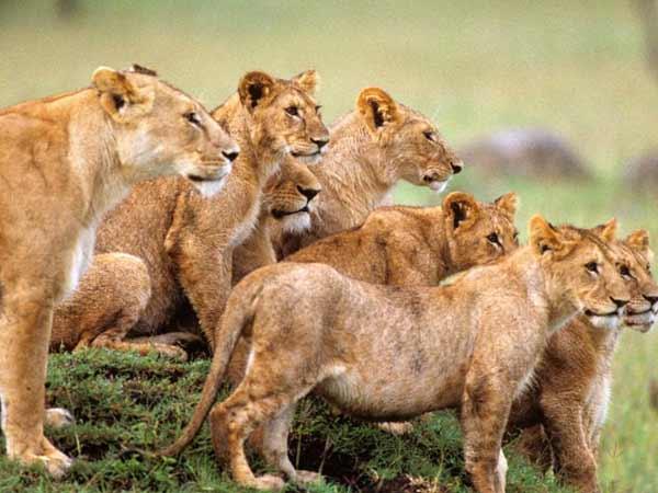 मह द वhd: जब शेरों के झुंड के बीच दिया महिला ने बच्चे को जन्म