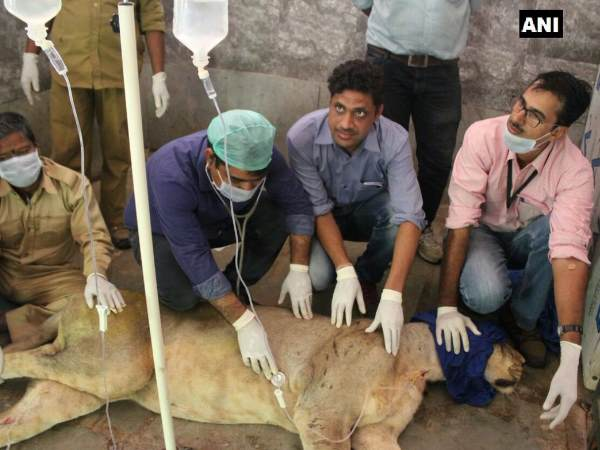 Rajasthan: Veterinary doctors monitoring Sajjangarh Biological Park's lioness Mehak
