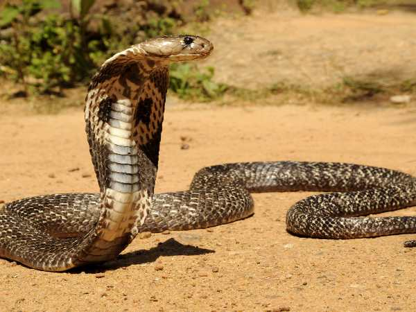 kanpur snake takes her revenge and died