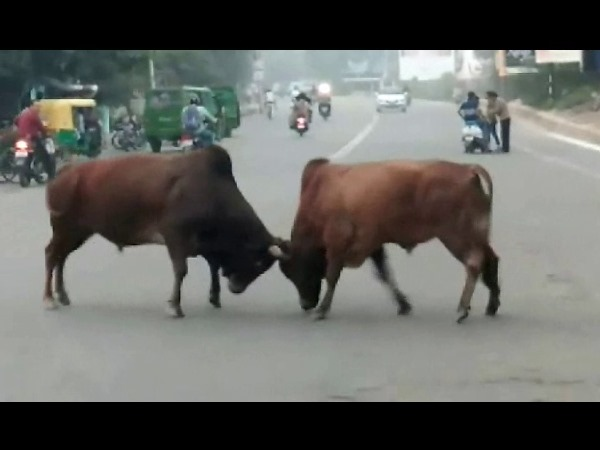 Heavy loss in Bull Fight, team rescue hard in Kanpur