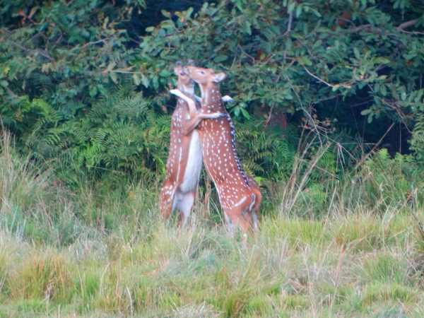 Romance of Chital caught on camera in Bahraich, Uttar Pradesh.