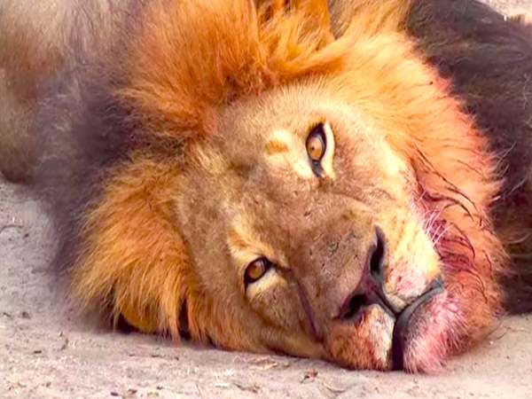 Etawah's Lioness in Safari Park declared unfit