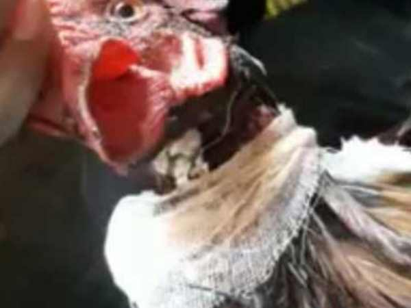A cock is alive even after his neck cut in Sitamarhi, Bihar