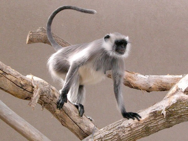 haryana langur given in dowry to groom prison